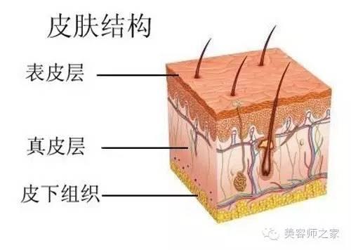 皮肤结构细胞示意图